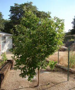 Яблоня Антоновка белая: особенности сорта и ухода