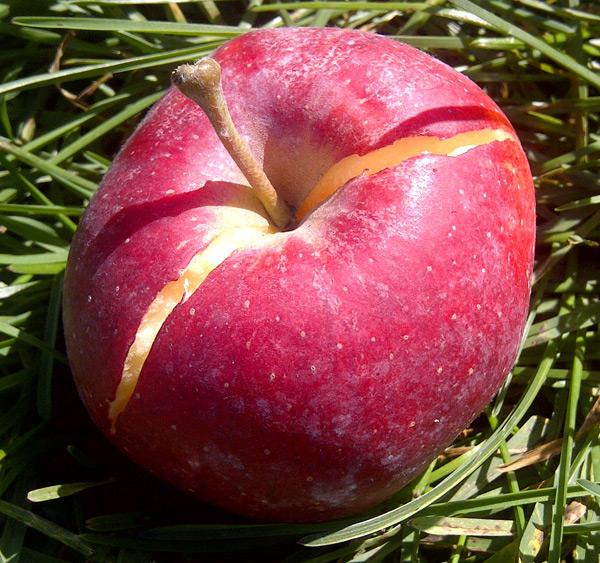 Почему трескаются яблоки прямо на яблоне и что с этим делать