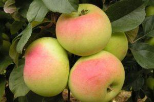 Яблоня ВЭМ желтый: особенности сорта и ухода