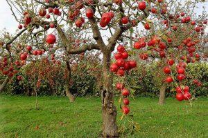 Яблоня Бельфлер башкирский: особенности сорта и ухода