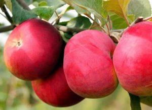 Яблоня Розочка: особенности сорта и ухода