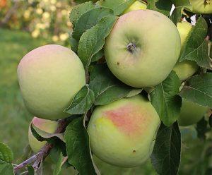 Яблоня Мартовское: особенности сорта и ухода