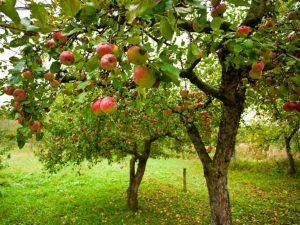 Яблоня Сласть алая: особенности сорта и ухода