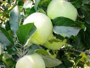 Яблоня Куйбышевское: особенности сорта и ухода