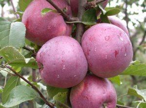Яблоня Либерти: особенности сорта и ухода