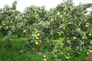 Яблоня Подснежник: особенности сорта и ухода