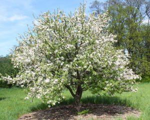 Яблоня Райка: особенности сорта и ухода